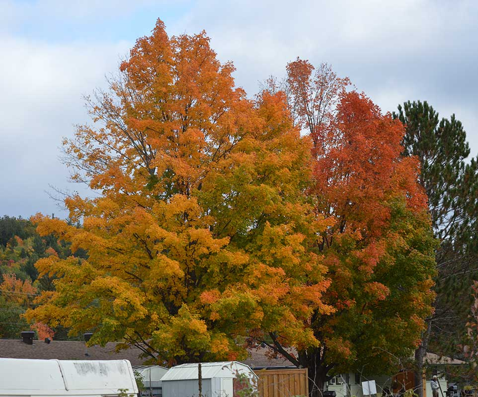 Maple trees in their autumn colours